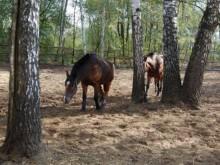Две лошади пасутся на природе